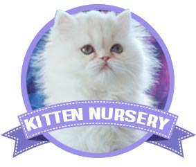Lionzden Cattery | Breeder of Persian and Himalayan Kittens